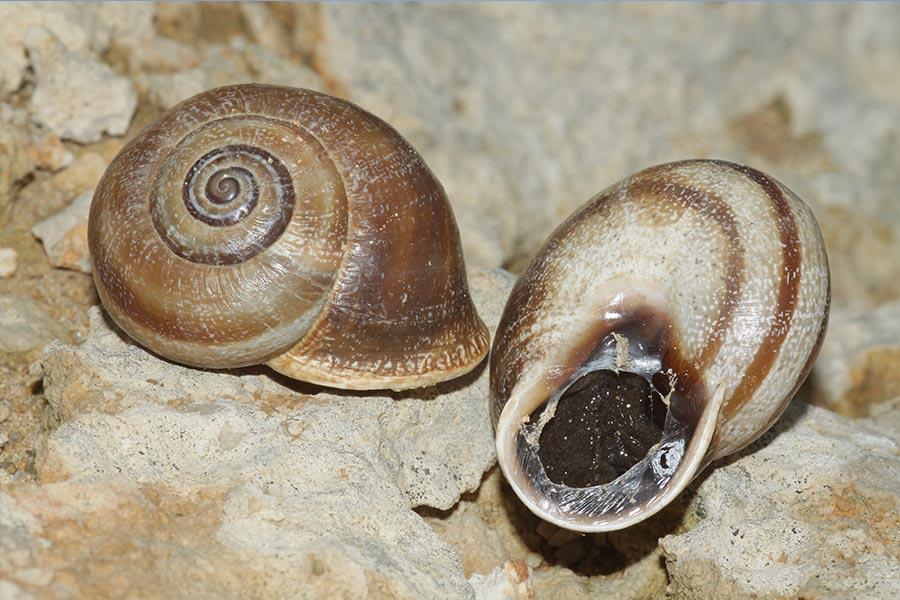l'Otala de Catalogne (Otala punctata), une des rares espèces d'escargot  terrestre protégée, de répartition limitée à la moitié ouest de la région Languedoc-Roussillon. Espèce récemment trouvée dans la région de Toulouse, Midi-Pyrénées.