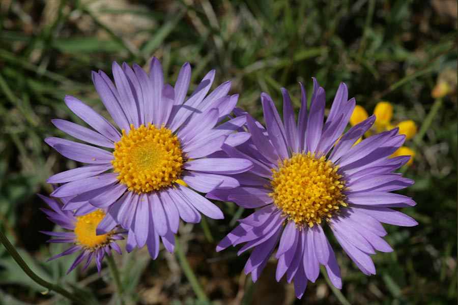 l'Aster des Alpes (<em>Aster alpinus</em>), espèce eurasiatique des pelouses sèches présente dans les montagnes françaises.