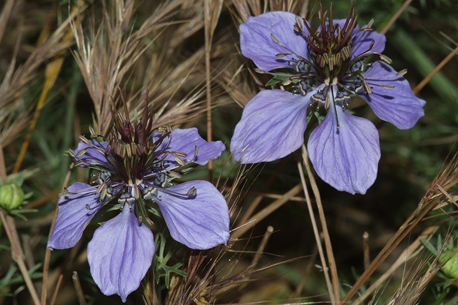 la Nigelle d'Espagne (<em>Nigella hispanica</em>), espèce ouest-méditerranéenne des moissons très rare en France et probablement adventice.