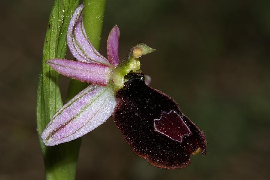 l'Ophrys de Bertoloni (<em>Ophrys bertolonii</em>), espèce protégée d'orchidée des pelouses sèches méditerranéennes.
