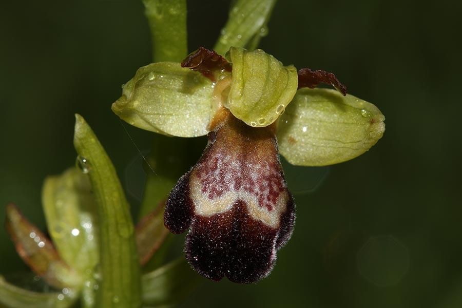 l'Ophrys de Gascogne (<em>Ophrys vasconica</em>), espèce d'orchidée endémique de nord de l'Espagne et du sud-ouest de la France. Elle habite les pelouses sèches à semi-sèches.