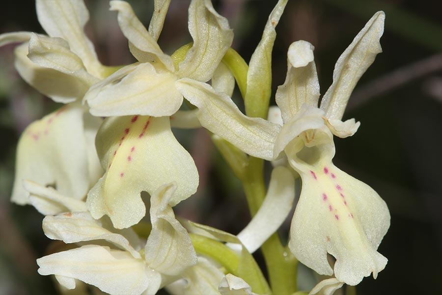 l'Orchis de Provence (<em>Orchis provincialis</em>), espèce d'orchidée méditerranéenne récemment intégrée à la liste des espèces végétales protégées sur le territoire national. Elle fréquente les milieux ouverts mésophiles à méso-xérophiles méditerranéens.