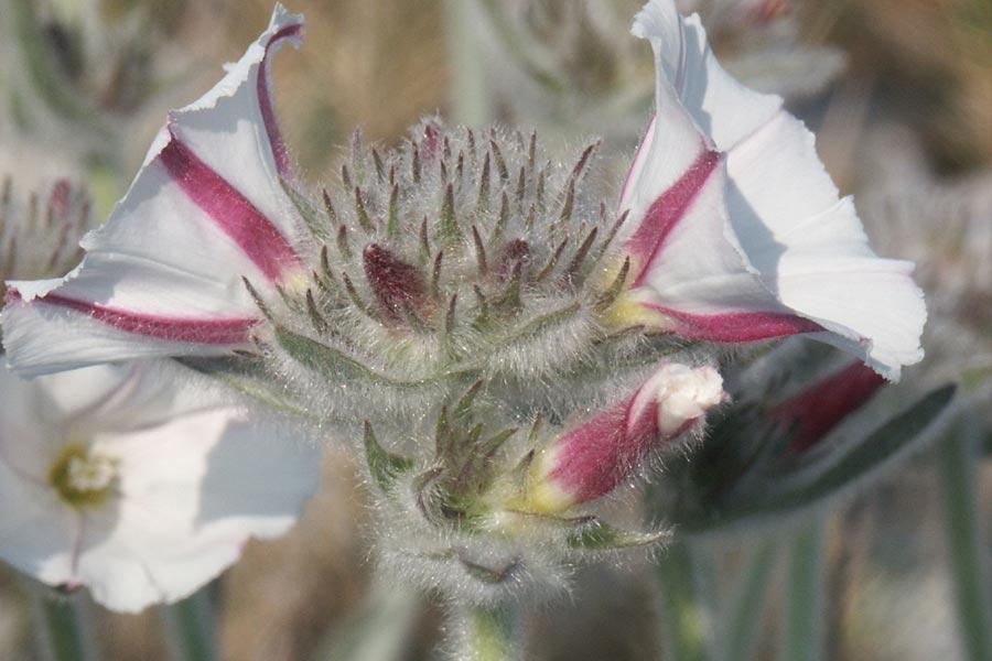 le Liseron laineux (<em>Convolvulus lanuginosus</em>), espèce franco-ibérique localisée en France mais assez commune dans les Corbières orientales.