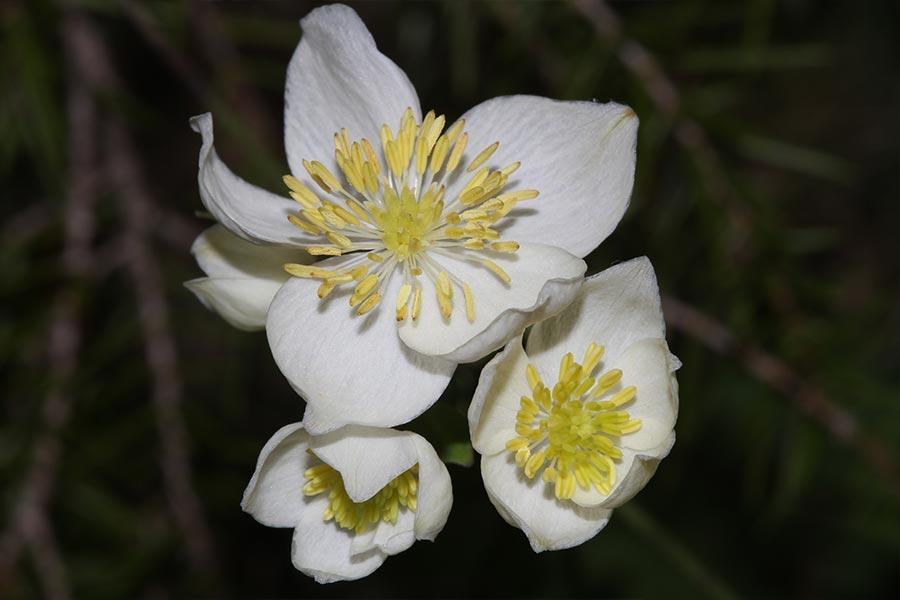 le Pigamon tubéreux (<em>Thalictrum tuberosum</em>), espèce remarquable endémique du nord-est de l'Espagne avec une population indigène implantée dans les Corbières (limite nord de l'aire de l'espèce) où l'espèce peut être abondante par endroits.