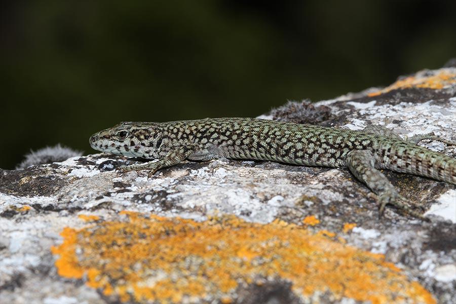 Mâle de Lézard catalan, forme des Cévennes (<em>Podarcis liolepis cebennensis</em>), sur le Causse du Larzac.