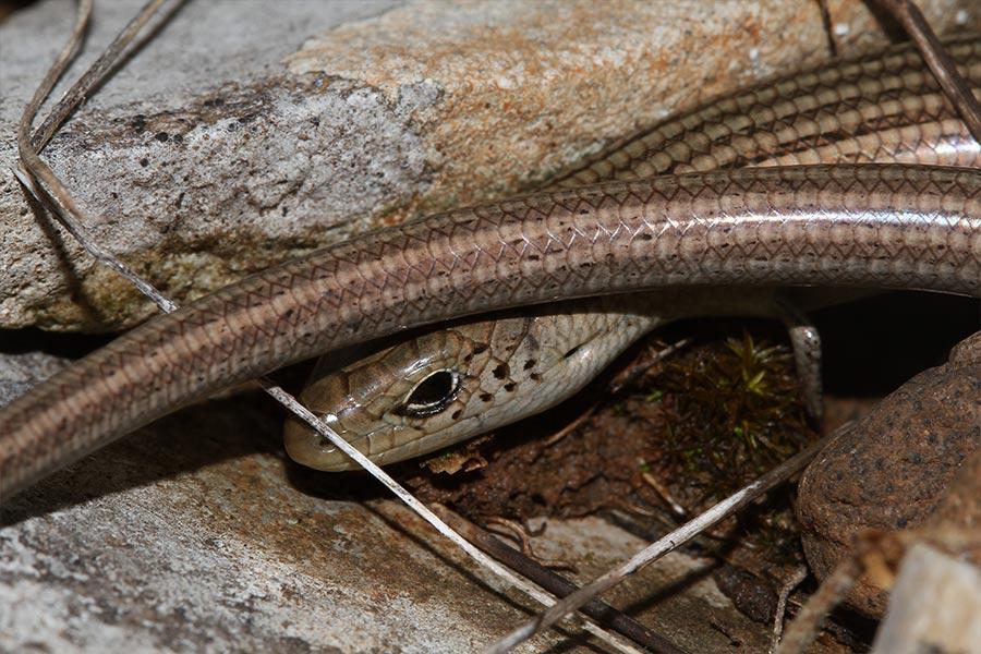 Seps strié (<em>Chalcides striatus</em>), espèce franco-ibérique de lézard à pattes atrophiées liée aux pelouses semi-sèches, photographié sur le Causse du Larzac.