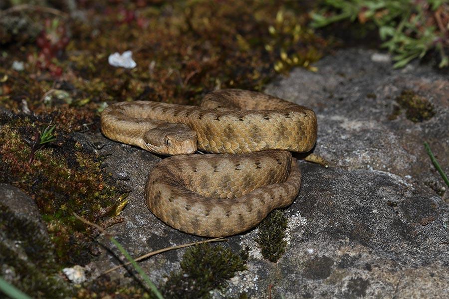 la Vipère aspic (<em>Vipera aspis</em>), une espèce encore commune dans les collines et en montagne mais qui subit une régression importante de ses effectifs dans les plaines.